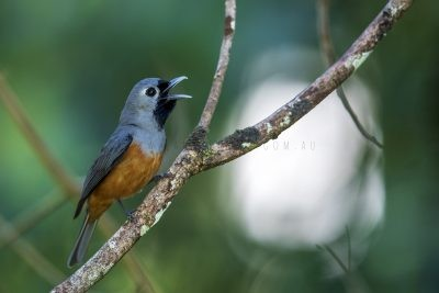 Black-faced Monarch - Calling