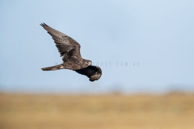 Black Falcon - In Flight