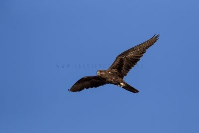 Black Falcon - In Flight.1