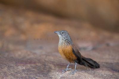 Black Grasswren - Juvenile Female (Amytornis Housei)