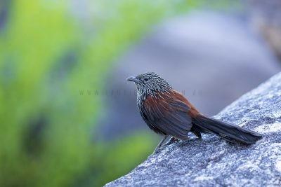 Black Grasswren - Male (Amytornis housei),