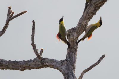Black-headed Woodpeckers (Picus erythropygius)