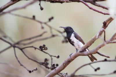 Black Honeyeater - Male (Sugomel nigrum)