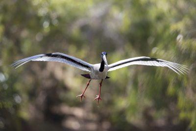 Black-necked Stork - In Flight (Ephippiorhynchus asiaticus australis)