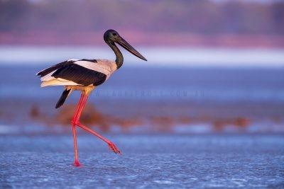 Black-necked Stork - Male on sunrise