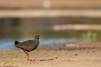 Black-tailed Native Hen (Tribonyx ventralis).1