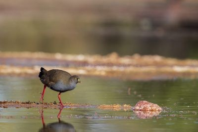 Black-tailed Native Hen (Tribonyx ventralis).2