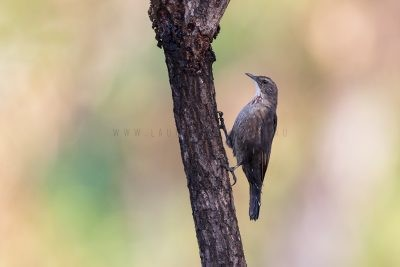Black-tailed Treecreeper - Female (Climacteris melanura melanura)