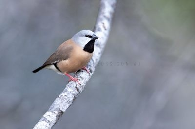Black-throated Finch.1