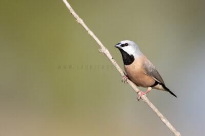 Black-throated Finch1