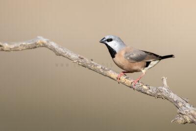 Black-throated Finch5