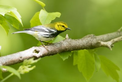 Black-throated Green Warbler (Setophaga virens)2