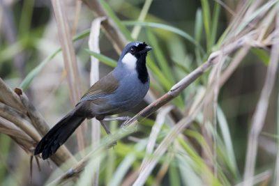 Black-throated Laughing-thrush (Garrulax chinensis)
