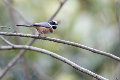 Black-throated Tit (Aegithalos concinnus)