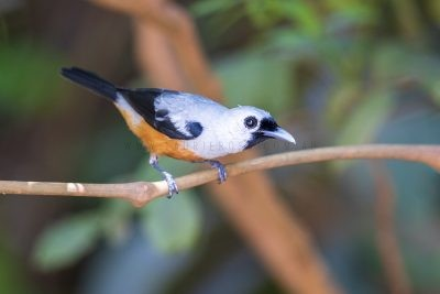 Black-winged Monarch