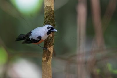 Black-winged Monarch (Monarcha frater canescens).1