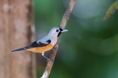 Black-winged Monarch (Monarcha frater canescens).2