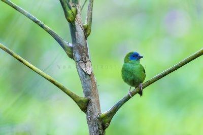 Blue-faced Parrot-finch - Habitat