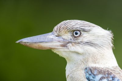 Blue-winged Kookaburra - Female Portrait (Dacelo leachii)