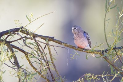 Bourkes Parrot (Neophema bourkii)1