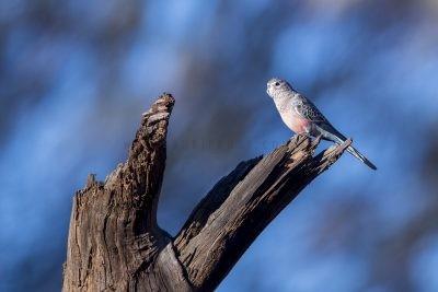 Bourkes Parrot (Neopsephotus bourkii).1