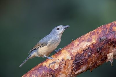 Bowers Shrike-thrush