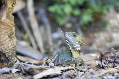 Boyd's Forest Dragon - Malanda