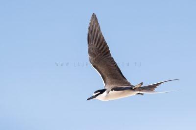 Bridled Tern - In Flight (Onychoprion anaethetus)