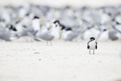 Bridled Tern (Onychoprion anaethetus)