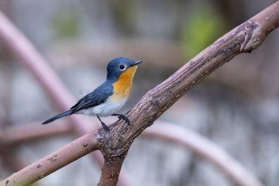 Broad-billed Flycatcher - Male