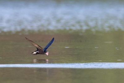 Brown-backed Needletail