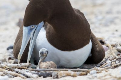 Brown Booby - with Chick (Sula leucogaster plotus).1