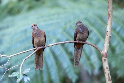 Brown Cuckoo-dove - Pair