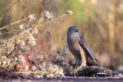 Brown Goshawk with Spotted Nightjar