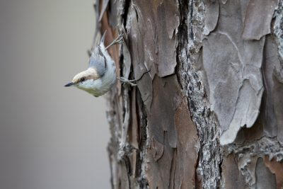 Brown-headed Nuthatch (Sitta pusilla)