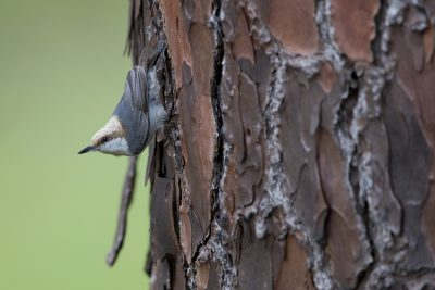 Brown-headed Nuthatch (Sitta pusilla).
