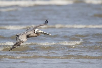 Brown Pelican - In Flight (Pelecanus occidentalis)1
