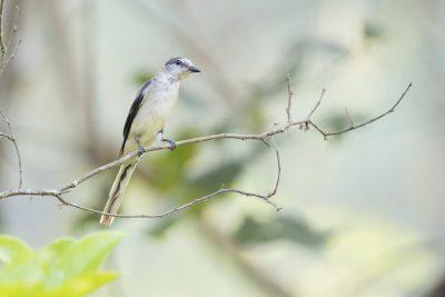 Brown-rumped Minivet (Pericrocotus cantonensis)