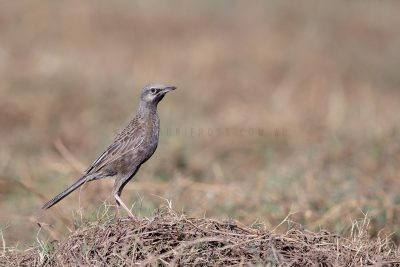Brown Songlark - Male