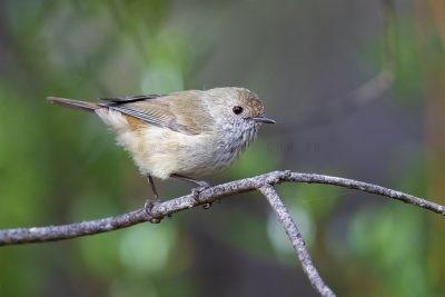 Brown Thornbill (Acanthiza pusilla diemenensis)