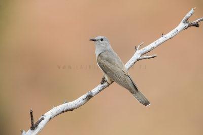 Brush Cuckoo (Cacomantis variolosus)1
