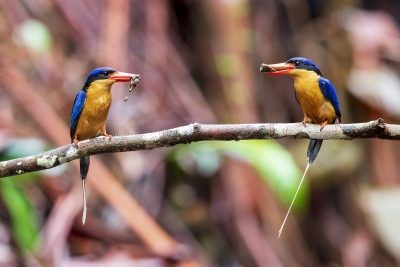 Buff-breasted Paradise-kingfisher (Pair)