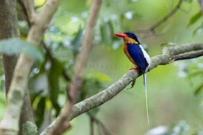 Buff-breasted Paradise-kingfisher (Tanysiptera sylvia sylvia).4