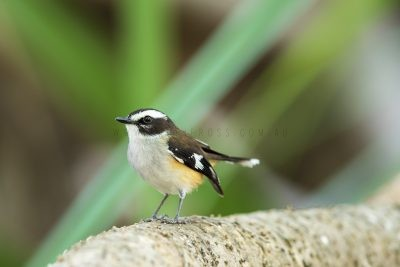 Buff-sided Robin (Poecilodryas cerviniventris)1