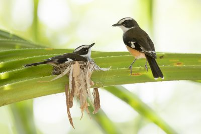 Buff-sided Robin's - Pair at Nest (Poecilodryas cerviniventris) - Timber Creek, NT