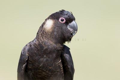 Carnaby's Black-Cockatoo - Portrait (Calyptorhynchus latirostris)