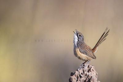 Carpentarian Grasswren - Male Singing.