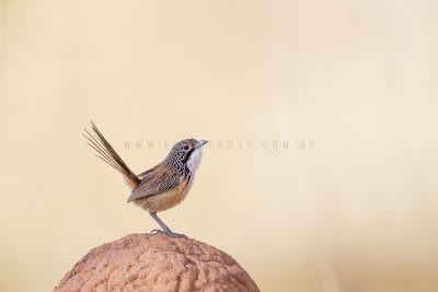 Carpentarian Grasswren - On Termite