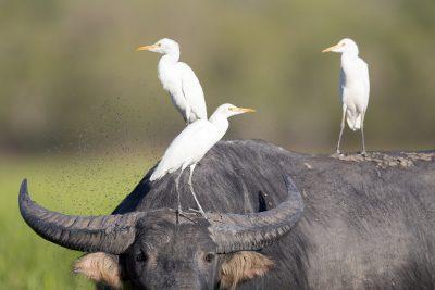 Cattle Egrets - On  Buffalo (Ardea ibis coromanda) - Yellow Waters, NT