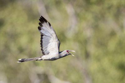Channel-billed Cuckoo - In Flight (Scythrops novaehollandiae)